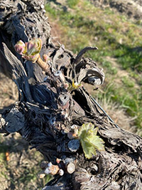 Seven Hills Vineyard Syrah is in Full Bud Break